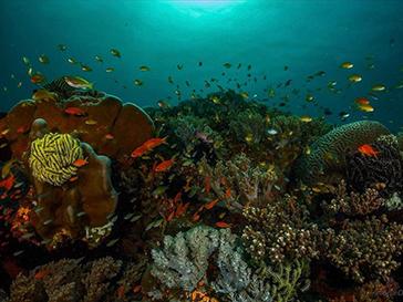 balicasag island corals